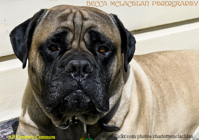 Average Lifespan of Bullmastiff Dog