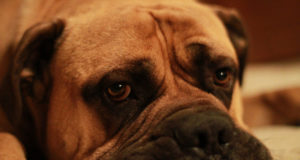 Bullmastiff Dog Ears