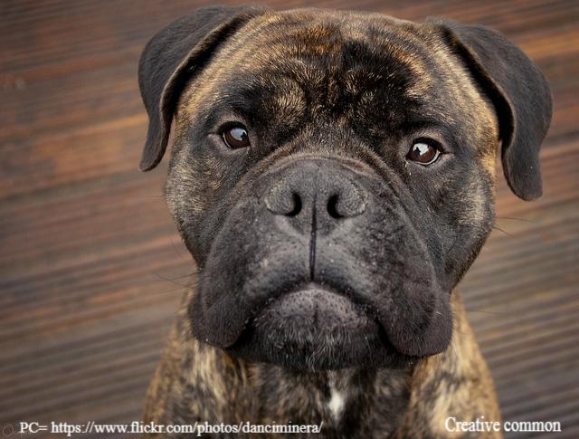 Bullmastiff Dog Breed Info