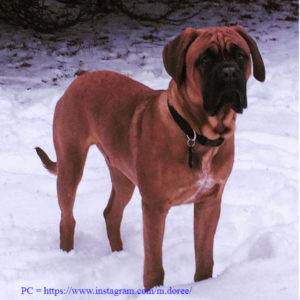 red bullmastiff dog
