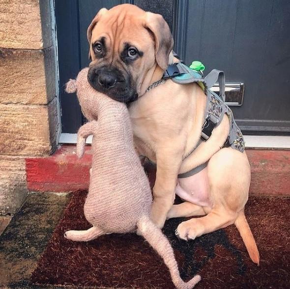 Bullmastiff Dog Biting