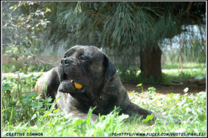 Bullmastiff Dog Biting