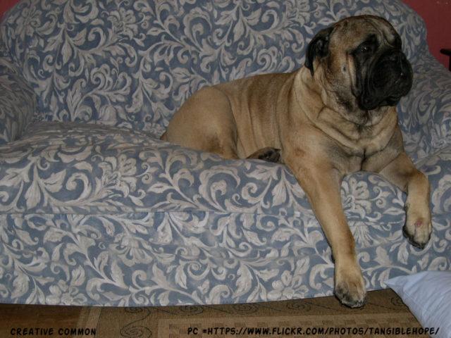 Bullmastiff Dog Separation Anxiety