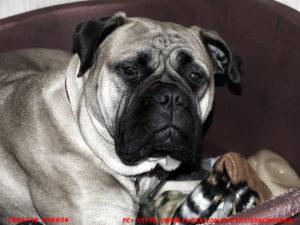 Bullmastiff Dog Shedding