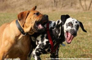 Bullmastiff Dog Temperament