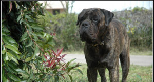 Bullmastiff Dog Weight