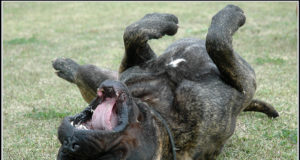 Bullmastiff dog Teething and Chewing Issues