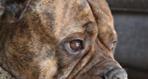Cancer In Bullmastiff Dog
