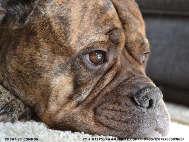 Cancer In Bullmastiff Dog