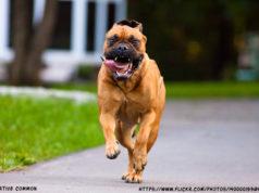 How to Calm Down a Hyper Bullmastiff dog?