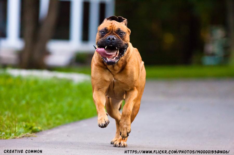 how to calm down a hyper bullmastiff dog bullmastiff dog