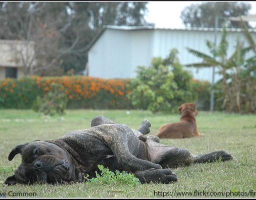 Bullmastiff Dog Bloating Issue