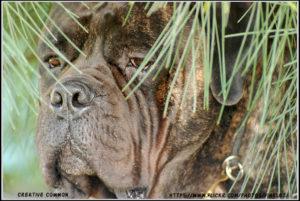 Bullmastiff Dog Stomach Issue