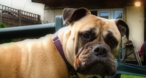 Skin problems in Bullmastiff dog