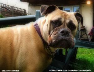 Skin problems in Bullmastiff dog