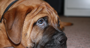 Bullmastiff Dog Eye Disease