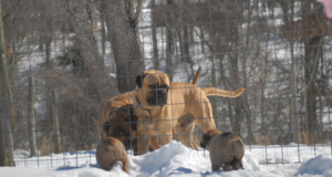 Bullmastiff dog Cardiomyopathy