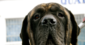 Bullmastiff dog Ear Infections