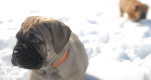 Ear Mites in Bullmastiff Dog