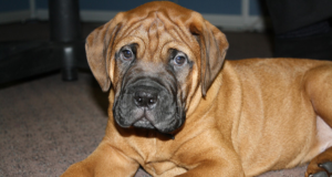 Hip Dysplasia in Bullmastiff dog