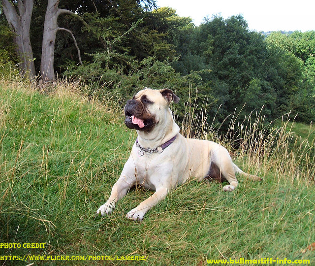 Mast cell tumors and surgery in Bullmastiff dog