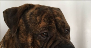 Bullmastiff Puppy and Dog Whining Issues