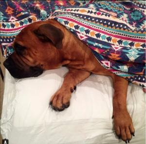 Bullmastiff dog Care