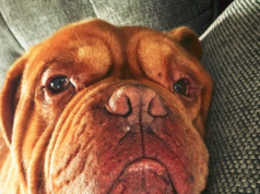 Bullmastiff dog Eye Boogers
