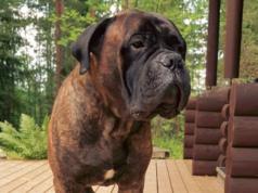 Bullmastiff dog Stomach and Intestinal Blockage