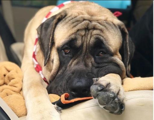 Demodectic mange in Bullmastiff dog