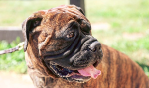 Hypothyroidism in Bullmastiff dog - Thyroid Problems