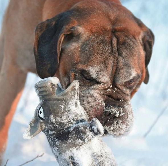 Seizures in Bullmastiff dog