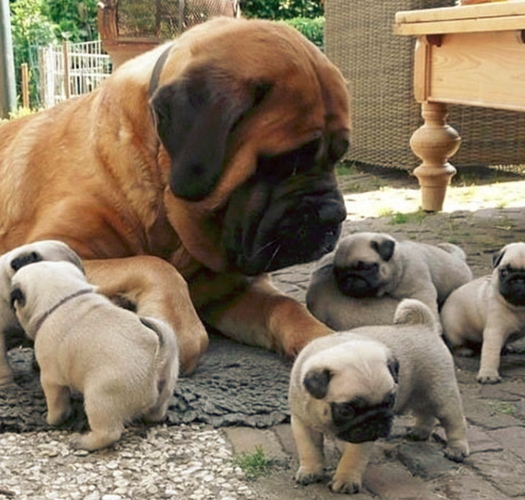 Are Bullmastiffs Considered an Aggressive Breed