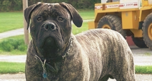 Bullmastiff Dog Calorie Requirement