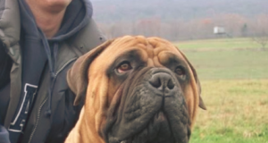 French Bullmastiff Dog