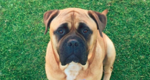 How Much Does it Cost to Buy a Bullmastiff?