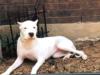 White Mastiff Dog