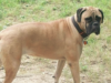 Best Dog Food for Bullmastiff Dog