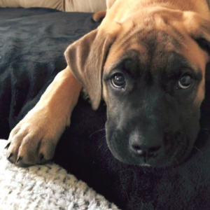 Bullmastiff Boxer Mix
