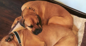 Bullmastiff Rottweiler Mix