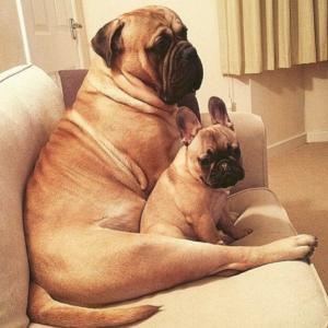 Cross Bullmastiff Dog