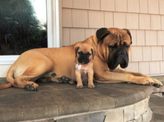Cross Bullmastiff Dog