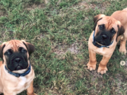 How to Find Bullmastiff Puppies for Sale