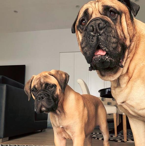 How To Train A Bullmastiff Puppy