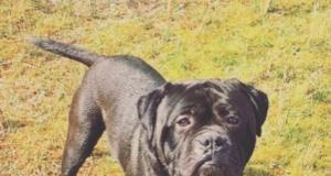 Black Bullmastiff