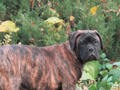 Female Bullmastiff