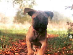 How to Potty Train a Bullmastiff Puppy