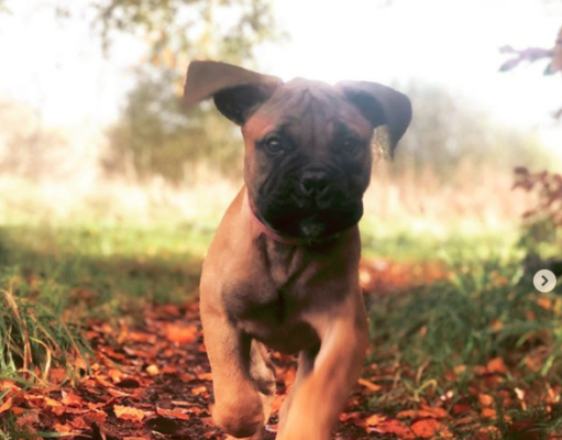 How to Potty Train a Bullmastiff Puppy